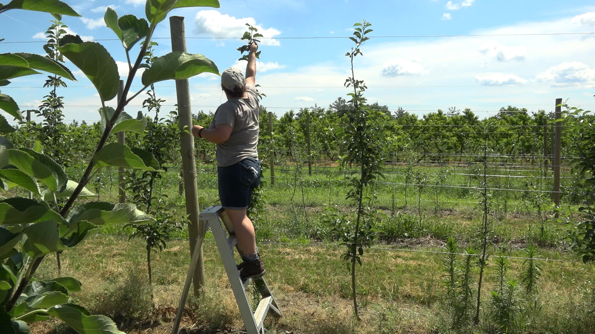 Visit Apex Orchards in Shelburne, MA and learn how the farm is surviving and planning for pick-your-own fruit season during the pandemic.