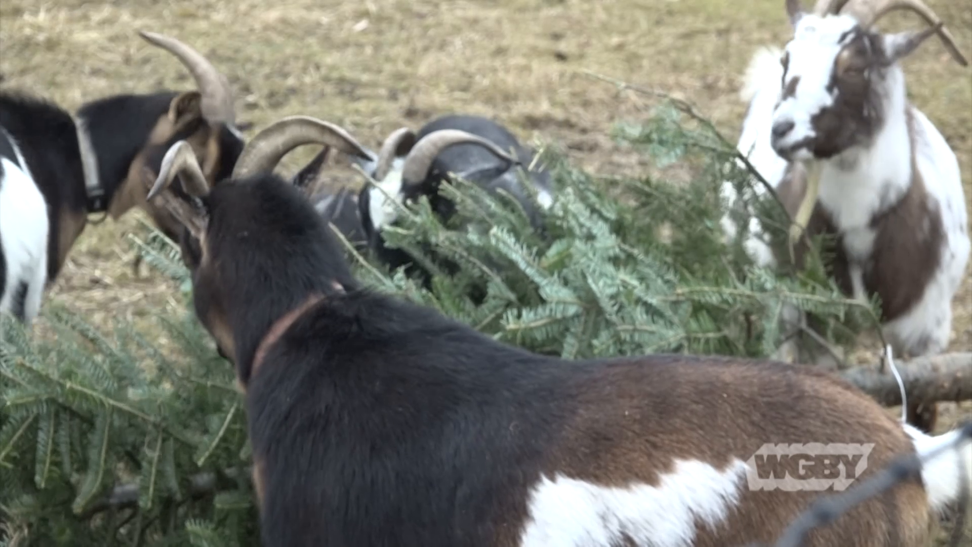 Looking for an eco-friendly way to get rid of your Christmas tree? Hokaheh Farm in Housatonic, MA recycles Christmas trees into feed for the farm's goats.